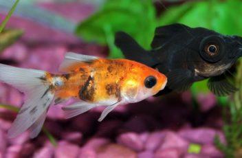 goldfish-672126_1280-crop