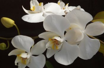 orquidea-188633_1280